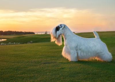 Olga Forlicz Show Dogs Photography